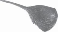 kolibri madu